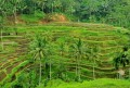 Tegal Lalang Rice Terrace